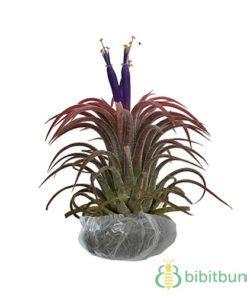 Tanaman Hias Calathea Saputangan tanaman hias indoor dalam ruangan bibitbunga