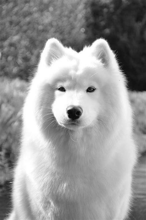 siberian samoyed puppies meer dan 1000 idee 235 n siberisch samoyed op samojeed honden samojeed