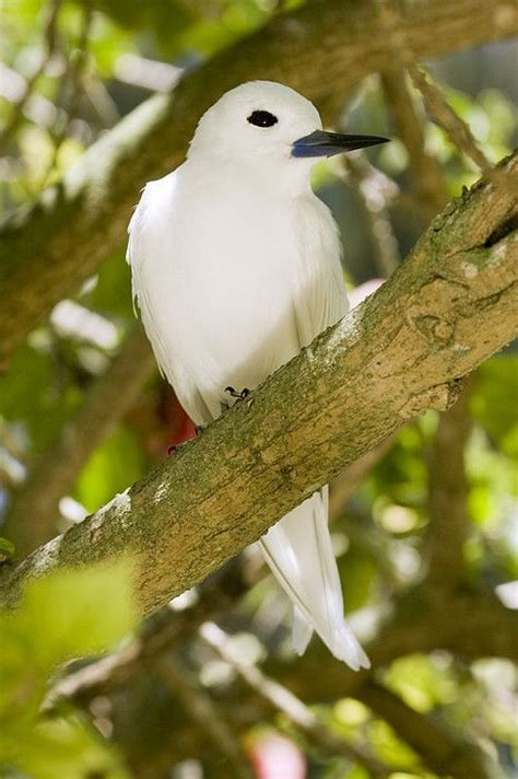 white tern in tree midway atoll print by sebastian