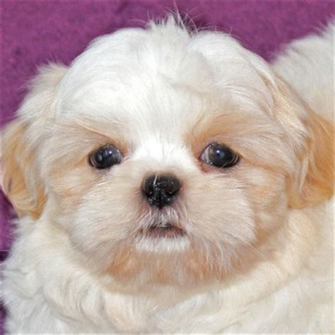 shih tzu puppies for sale australia shih tzu puppy for sale in south florida