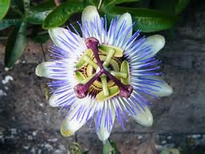 fichier fleur de jardin jpg wikip 233 dia