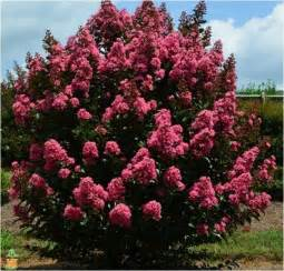 crape myrtle colors editions crape myrtle tree coral magic for sale