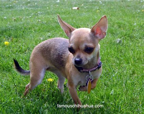 deer chihuahua puppies deer chiwawa breeds picture