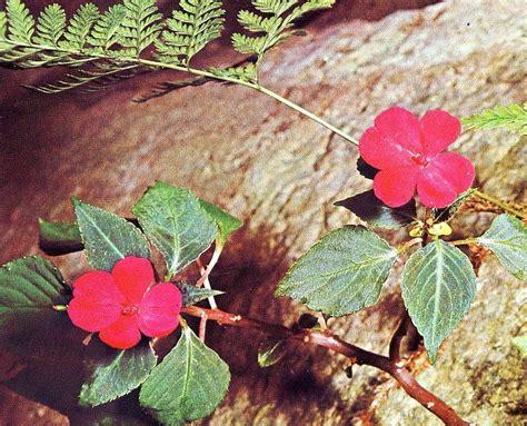 piante di vetro fiori piante e fiori pianta di vetro impatiens walleriana