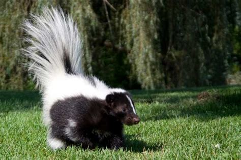skunk spray is skunk spray dangerous or poisonous to humans and other animals like dogs