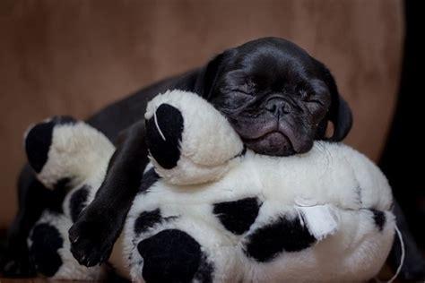 pug popping out pugs will sleep anywhere pug pug babies and sleep