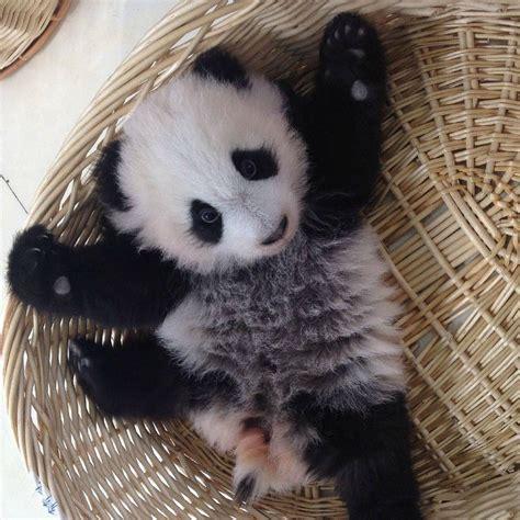 Free Hugs Panda hug me photo by weibo 169 中国大熊猫保护研究中心 animals