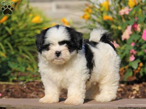 greenfield puppies shih tzu greenfield puppies shih tzu assistedlivingcares