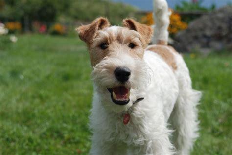 elenco cani da appartamento razze cani piccoli duylinh for