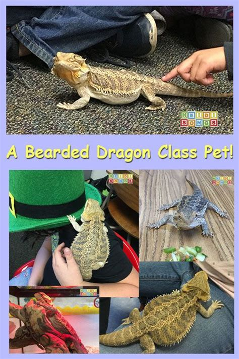 dragons with pets books 25 best ideas about class pet on caterpillar