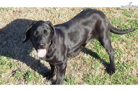 lab puppies for sale in sc akc black lab puppy black labrador
