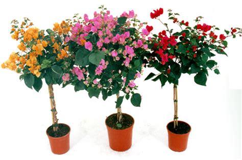 bouganville vaso bouganvillea in vaso unbranded offerte e promozioni
