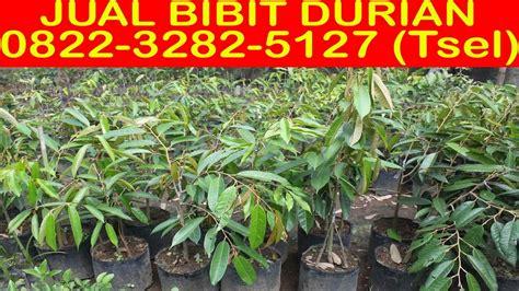 Bibit Durian Bawor Bekasi 0822 3282 5127 tsel alamat jual bibit durian bawor