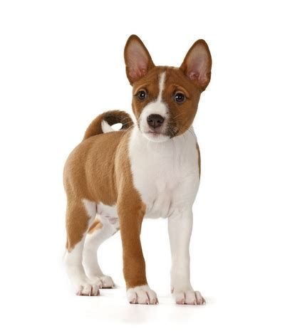 best small breed dogs 25 best breeds for small apartments top tips
