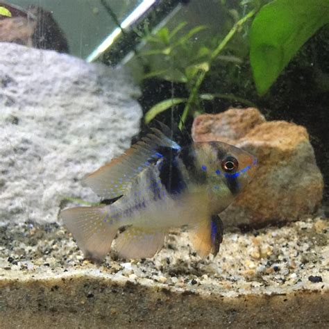 bolvian ram bolivian vs german rams my aquarium club
