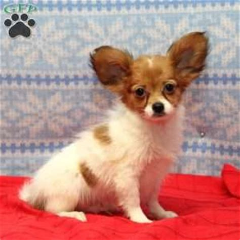 papillon puppies for sale in pa papillon puppies for sale in de md ny nj philly dc and baltimore