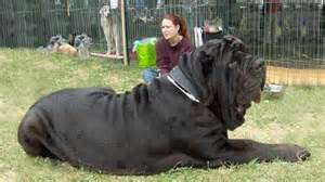 largest in the world 10 biggest dogs in the world fotolip com rich image and