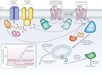 Signal 2 - CellBiology G Protein Coupled Receptors Pathway