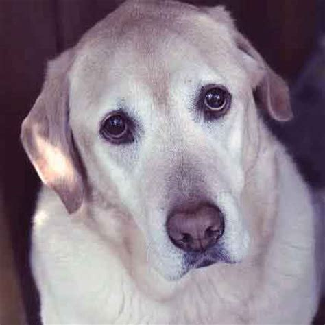 enlarged in dogs dogs with congestive failure petcarerx