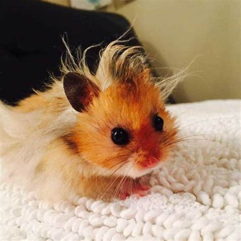 hamster with 17 best ideas about hamster breeds 2017 on