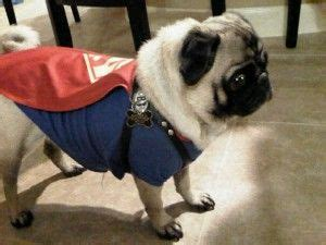 pug superman costume 137 best images about pugs on chugs pug and pug costumes