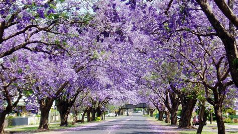 jacarandas have earned a special place in local culture