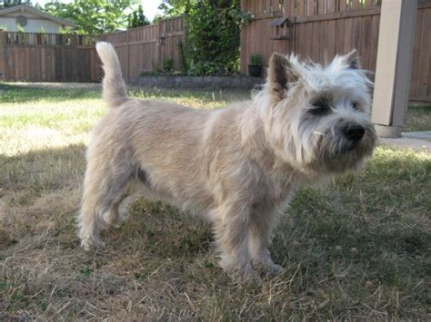 cairn terrier cut styles cairn terrier haircut styles pictures of wheaten terrier