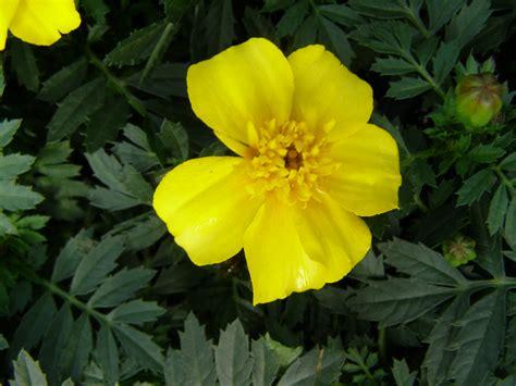Yellow Marigold disco yellow marigolds