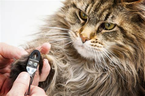 peut on couper les griffes des chats pourquoi et comment couper les griffes de chat