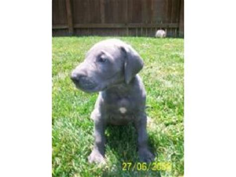 great dane puppies for sale in sc great dane puppies for sale