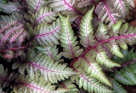 japanese painted fern photograph by chris anderson