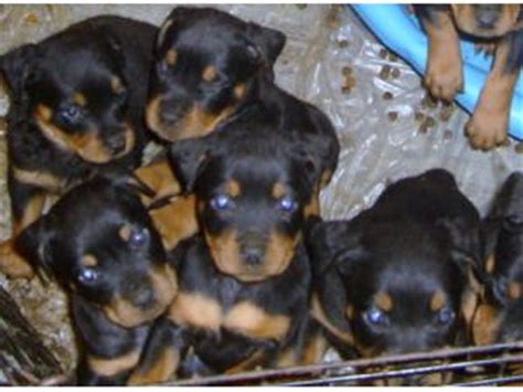 rottweiler puppies in kentucky rottweiler puppies in kentucky