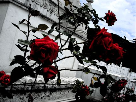 dark roses by sofz22 on deviantart