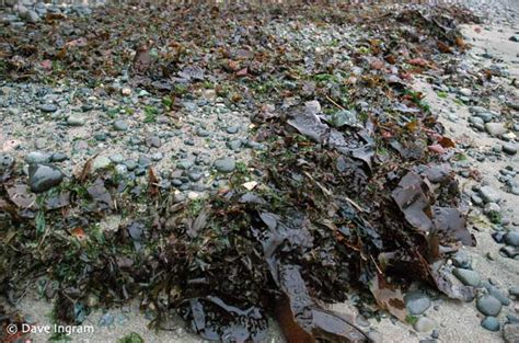 seaweed for the garden