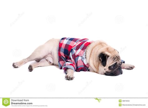 sad pug puppy sad pug stock photo image 38819055
