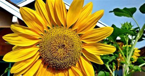 Biji Bunga Matahari Untuk Hamster pengalaman makan biji kuaci biji bunga matahari