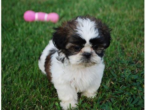 shih tzu puppies tx baby shih tzu puppies available animals announcement 36345