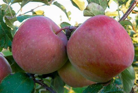 apple fuji fuji apple crisps
