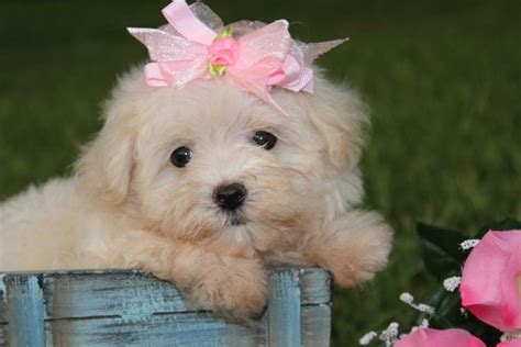 maltipoo puppies for sale in louisiana maltipoo puppies for sale