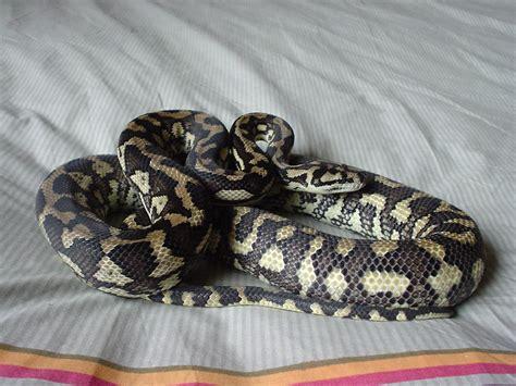 Kaos Snake kaos my pet snake by draconic on deviantart