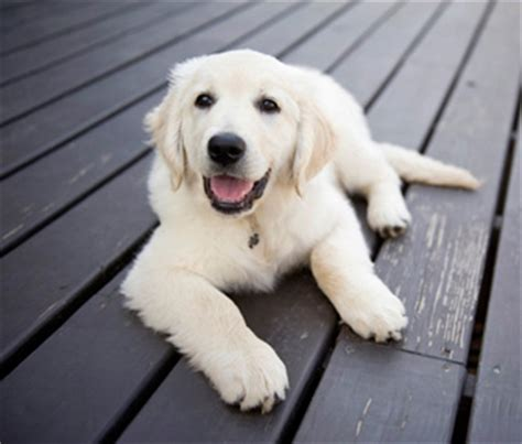 heritage golden retriever 5 reasons a golden retriever might be the right breed for you
