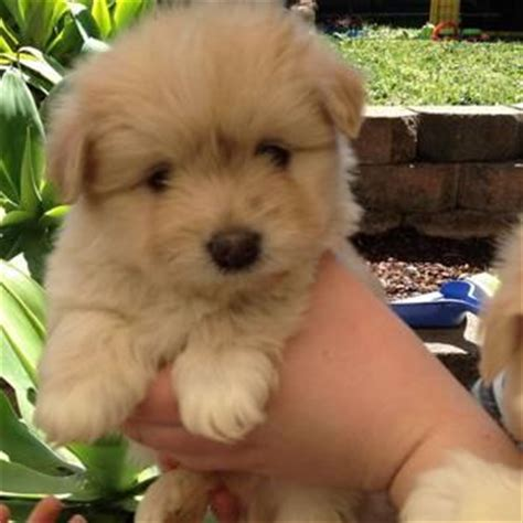shih tzu puppies for sale australia adorable maltese x shih tzu puppies for sale sydney australia free classifieds