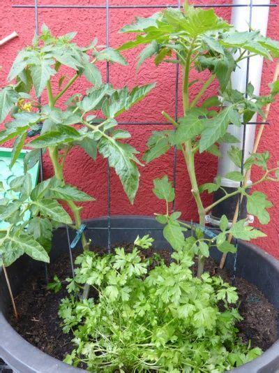 wann kann tomaten pflanzen tomaten pflanzen im topf und auf dem balkon garten und