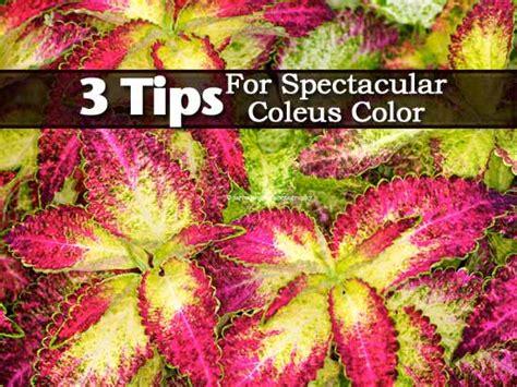 3 tips for rich coleus color