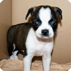 pug boston terrier chihuahua mix 1000 images about animals on chihuahuas chugs and pug mix