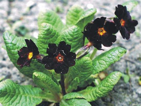 Black Flowers by Types Of Black Flowers Flowers