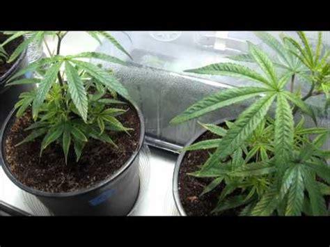 tutorial marijuana grow part 3