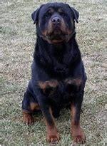 rottweiler akc standard akc rottweiler breeder rottweiler puppies for sale rottie breed information ohio