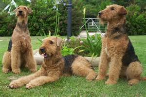 do airedale terriers shed bunkblog