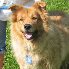 akita golden retriever mix 1000 images about best dogs on golden retriever mix chow chow mix and